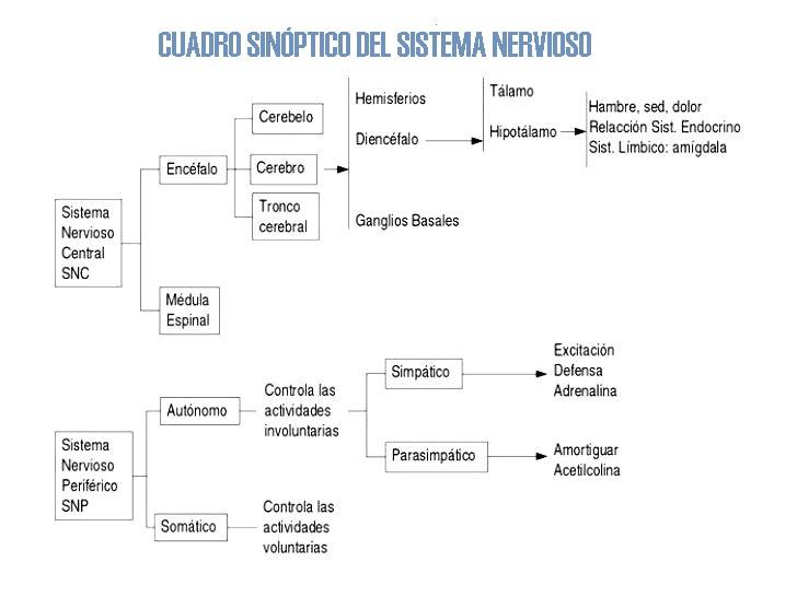 Cuadro sinóptico del sistema nervioso